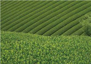 殯の森ロケ地茶畑